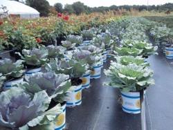 1 Gal Ornamental Cabbage