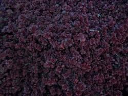 Perennial Sedum