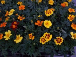 Disco Marigolds