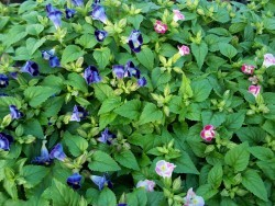 Blue and Pink Torenia