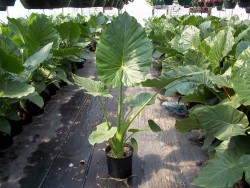 3 Gal Persian Palm