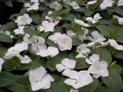 White Vinca