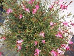 Pink Gaura