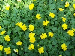 Clear Yellow Viola