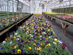 Majestic Giant Pansies