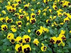 Yellow Blotch Pansy