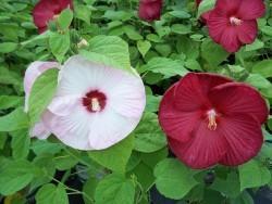 Disco Belle Hibiscus (Dinner Plate Bloom)