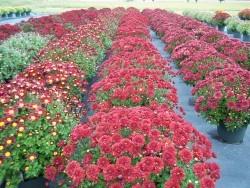 Red Garden Mums