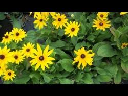 Yellow Rudbeckia Daisy